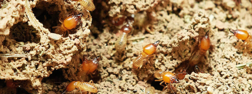 Active Termite colony